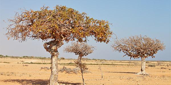 Kompass Komplementärmedizin: Die Arzneipflanze 2021 - Der Myrrhenbaum